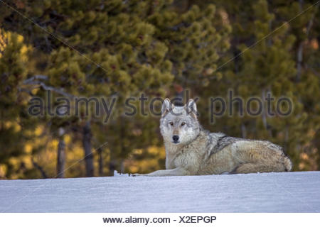 A female gray wolf, Canis lupus, resting in the snow. - Stock Photo