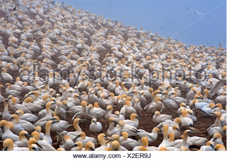 Colony of northern gannets (Morus bassanus) Gaspé Peninsula. , Bonaventure Island, Quebec, Canada - Stock Photo