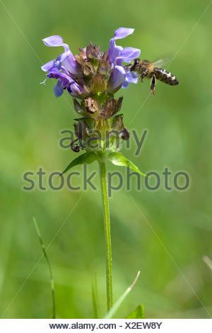 Large self-heal, Prunella loveliness (Prunella grandiflora), inflorescence with bee, Switzerland - Stock Photo