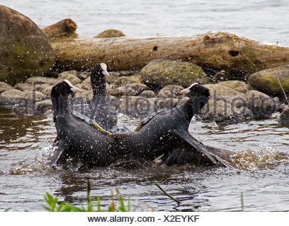 black coot (Fulica atra), three black coots in territorial fight, Germany - Stock Photo