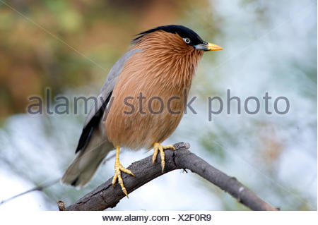 Brahminy Myna or Brahminy Starling, Sturnia pagodarum, Keoladeo Ghana National Park, Rajasthan, India, formerly known as the Bharatpur Bird Sanctuary, - Stock Photo