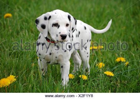 quadruped dog dalmatian - Stock Photo