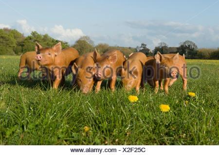 Piglets in field - Stock Photo