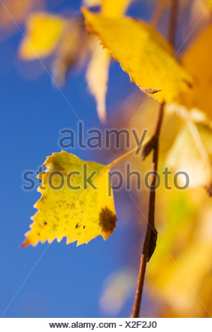Autumn leaves against a blue sky, Sweden. - Stock Photo