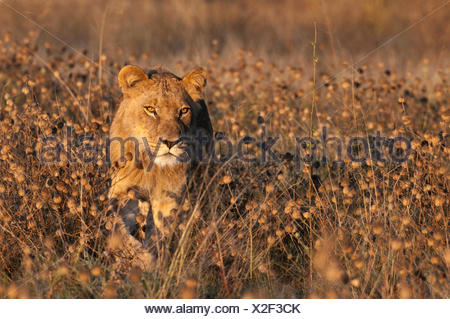 A young male lion, Panthera leo, walking among tall weeds. - Stock Photo