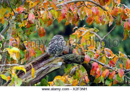 little owl (Athene noctua), sitting on an old branch, Germany, North Rhine-Westphalia - Stock Photo