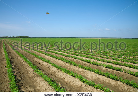 Agriculture - Large field of early growth soybean plants planted on raised beds, possibly for furrow irrigation / Arkansas. - Stock Photo