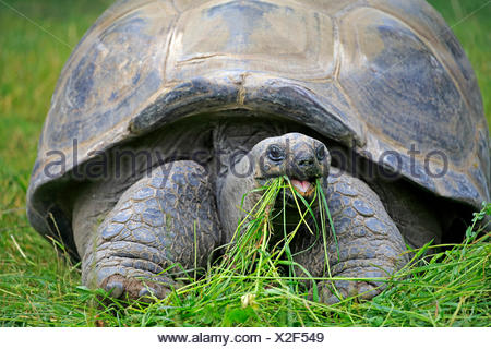 Aldabra Giant Tortoise (Aldabrachelys gigantea), adult, feeding, Seychelles - Stock Photo