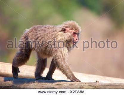 Japanese macaque - Stock Photo