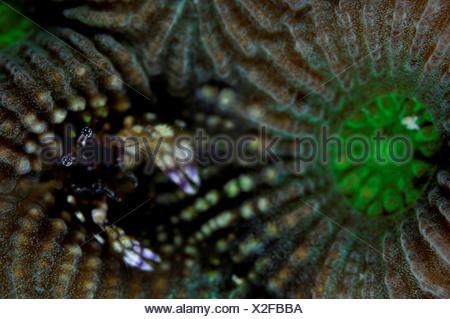 Coral hermit crab (Paguritta harmsi) living in hard coral, Gaafu Alifu Atoll, Maldives - Stock Photo