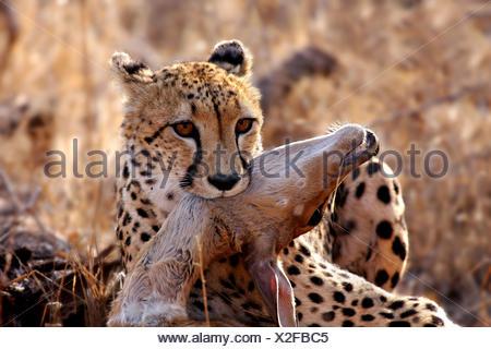 cheetah with prey,wildlife - Stock Photo