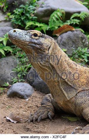 Komodowaran, Varanus komodoensis, Komodo, Indonesia, Asia - Stock Photo