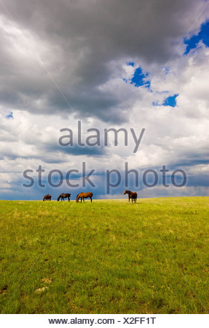 Horses grazing with storm clouds overhead near Brooks, Alberta, Canada. - Stock Photo