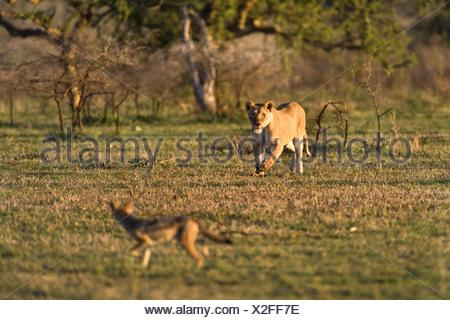 lion (Panthera leo), lioness chasing off a jackal, Tanzania, Serengeti NP - Stock Photo