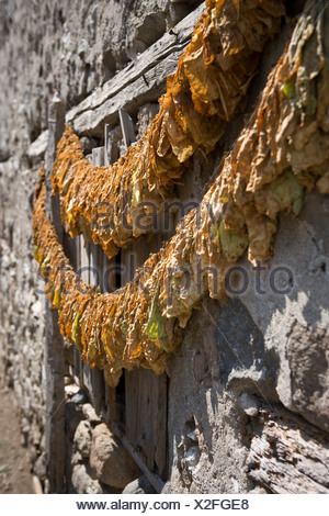 Tobacco leaves hung to dry - Stock Photo