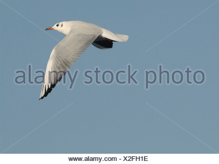 Black-headed Gull Chroicocephalus ridibundus - Stock Photo