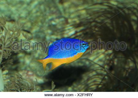 Azur-Demoiselle, - Stock Photo