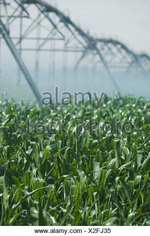 Irrigation over corn field - Stock Photo