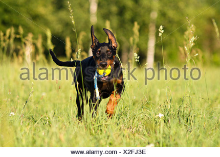 Doberman Pinscher Adult dog running meadow while carrying ball - Stock Photo
