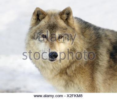 Gray Wolf (Canis lupus) in Saskatoon, Saskatchewan - Stock Photo