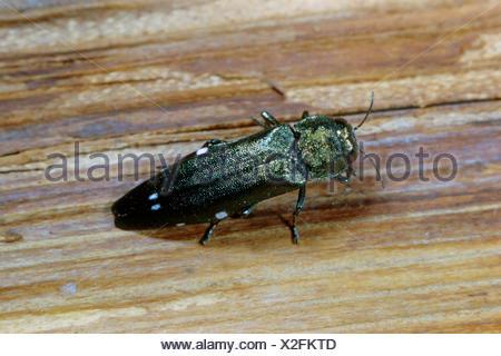 Oak splendor beetle, Oak splendour beetle, Two spotted oak buprestid (Agrilus biguttatus), on wood, Germany - Stock Photo