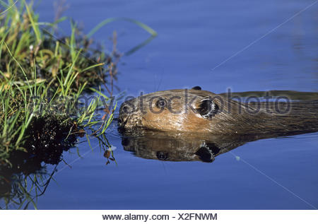 North American Beaver observing alert - Stock Photo
