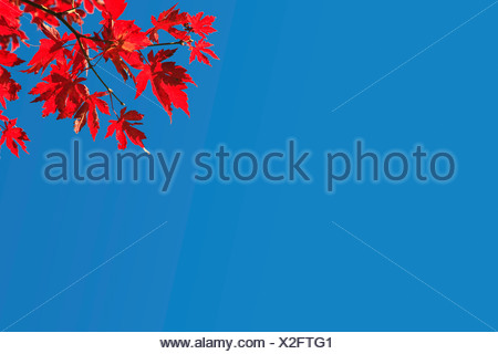 Red autumn leaves on a tree in sunny weather - Stock Photo