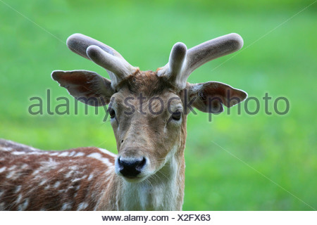fallow deer (Dama dama, Cervus dama), male, velvet, Germany - Stock Photo