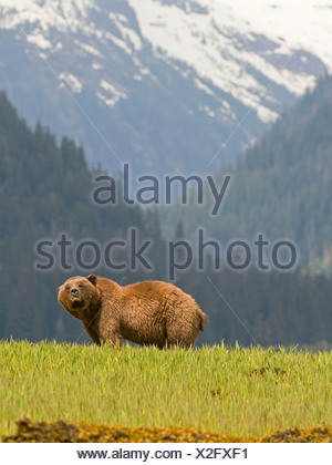 Male Grizzly Bear (Ursus arctos horribilis)  Khutzeymateen Grizzly Bear Sanctuary North of Prince Rupert British Columbia Canada - Stock Photo