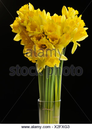 Wild daffodils, Lent lilies (Narcissus pseudonarcissus) - Stock Photo