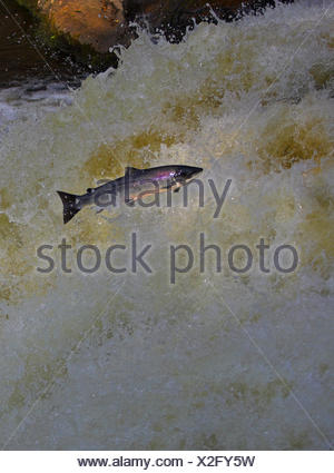 Atlantic salmon (Salmo salar) jumping waterfall during migration to spawn, Scotland - Stock Photo
