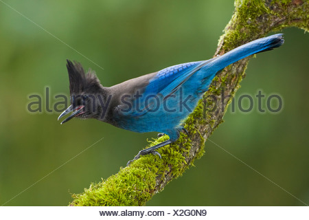A Steller's Jay (Cyanocitta stelleri) perches on a mossy branch in Victoria, Vancouver Island, British Columbia, Canada - Stock Photo