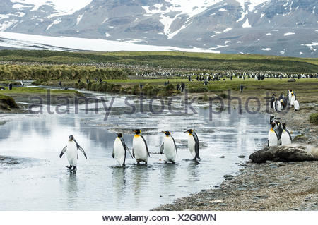 King penguins (Aptenodytes patagonicus) wading in shallow water; South Georgia, South Georgia and the South Sandwich Islands, United Kingdom - Stock Photo