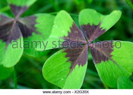 Clover with four leafs, (Trifolium) - Stock Photo