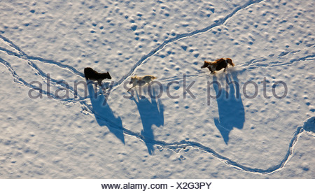 Aerial picture, Homberg paddock at the DGB Hattingen school, horses in snow, Ruhr area, North Rhine-Westphalia, Germany, Europe - Stock Photo