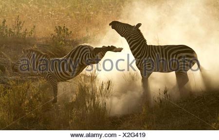 Plains Zebra (Equus quagga) in a dominance fight with dust flying, Lake Magadi, Serengeti, Tanzania. - Stock Photo