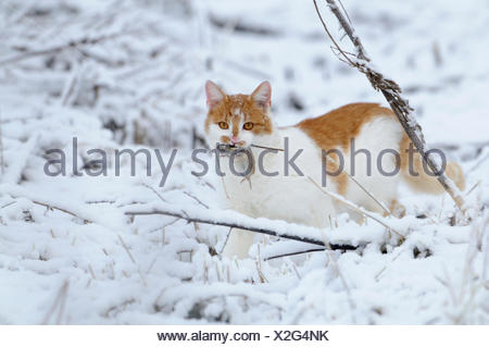 Cat with just caught mouse in his mouth perched in the snow - Stock Photo