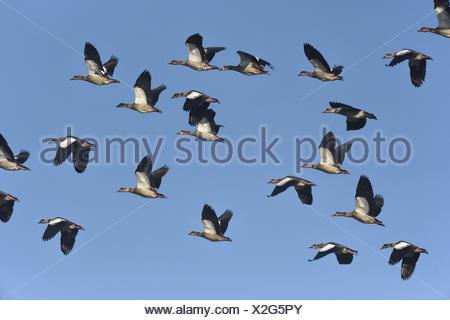 Egyptian Goose - Alopochen aegyptiacus - Stock Photo