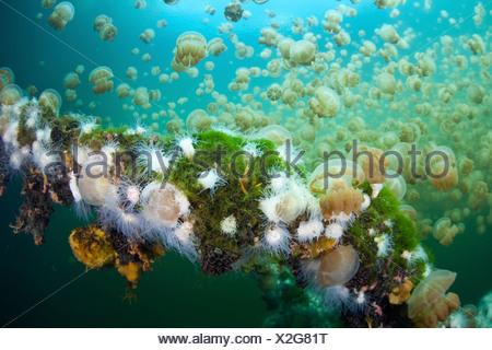 Endemic Anemones feeding on Mastigias Jellyfish, Entacmaea medusivora, Mastigias papua etpisonii, Micronesia, Palau - Stock Photo