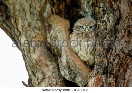 Little owl (Athene noctua), young bird sitting in front of breeding cave, Hesse, Germany - Stock Photo