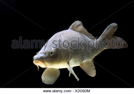 Common carp (Cyprinus carpio) Stock Photo