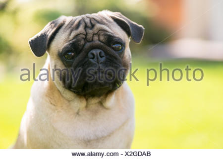 Cute Male Pug on green background in the summer park - Stock Photo