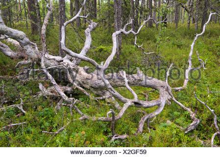 broken pine in finnish forest, finland - Stock Photo
