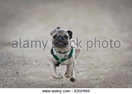 Running pug dog puppy - Stock Photo