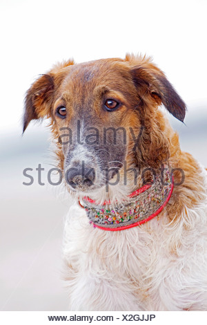 Barzoi dog standing portrait - Stock Photo