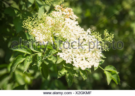 elderflower - Stock Photo