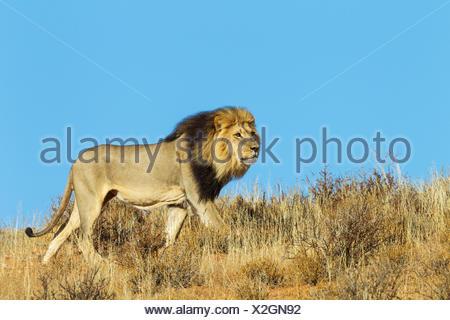 Black-maned Lion (Panthera leo vernayi), male, roaming on a grass-grown sand dune, Kalahari Desert, Kgalagadi Transfrontier Park - Stock Photo