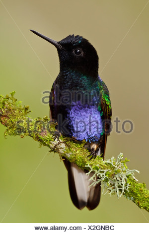 A Velvet-purple Coronet (Boissonneaua jardini) perched on a branch in the Tandayapa Valley of Ecuador. - Stock Photo