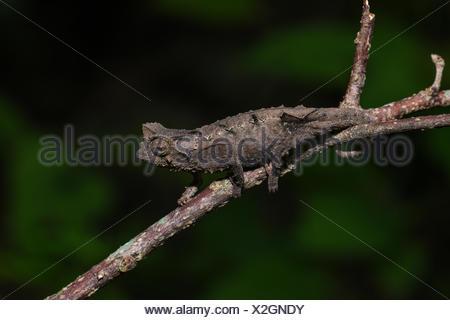 Stub-tailed chameleon (Brookesia brunoi), male, Anja community reserve, Madagascar - Stock Photo
