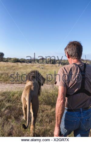 Animal ranger walking with male lion(Panthera leo), Namibia